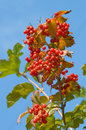Guelder-rose red. Royalty Free Stock Photography