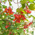 Guelder rose red viburnum berries Stock Image