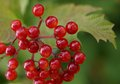 Guelder rose viburnum opulus berries in british hedgerow red of the plant ripening a summertime Royalty Free Stock Photography