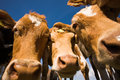 The Guernsey Cow Royalty Free Stock Photo