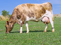 A guernsey crossbred dairy cow cross jersey Royalty Free Stock Photo