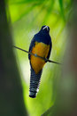 Guianan trogon trogon violaceus yellow and dark blue exotic tropic brid sitting on thin branch in the forest brazil Royalty Free Stock Photo
