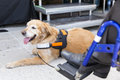 Guide and assistance dog an is trained to aid or assist an individual with a disability many are trained by an organization Stock Images