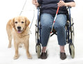 Guide dog and wheelchair isolated on white woman in Stock Photos