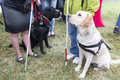 Guide dogs blind people and during the last training for the animals the are undergoing various trainings before finally Stock Photos