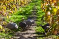 Guiena Fowl in a Vineyard Royalty Free Stock Photo