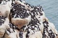 Guillemot rock colony Stock Photography