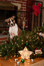 Guilty dog knocks over christmas tree looking for presents Stock Photos