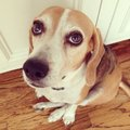 Guilty dog this is our beagle he looks Royalty Free Stock Photography