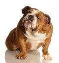 Guilty looking english bulldog Royalty Free Stock Photo