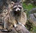 Guilty Raccoon Stock Photos