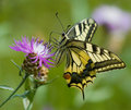 Guindineau de Machaon sur le Centaurea Photos stock