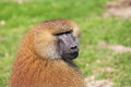 Guinea baboon the detail of Stock Photo