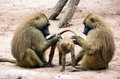 Guinea baboon family papio papio parents caring for the young Royalty Free Stock Photo