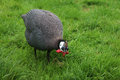Guinea fowl a on a background of green grass Stock Image