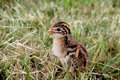 Guinea Fowl Chick Royalty Free Stock Photo
