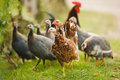 Guinea fowl and chicken Royalty Free Stock Photo