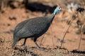 Guinea Fowl Royalty Free Stock Photo
