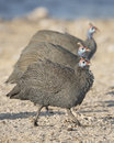 Guinea fowl etosha national park namibia africa Royalty Free Stock Photography