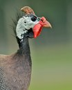 Guinea fowl portrait before going into the woods Stock Photo