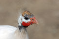 Guinea fowl portrait of white with red goiter Stock Photos