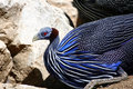 Guinea Fowl Royalty Free Stock Photo