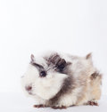 Guinea pig Stock Photography