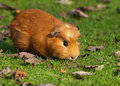 Guinea pig (Cavia porcellus) Stock Photography
