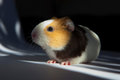 Guinea pig cavia porcellus is popular household pet Stock Image