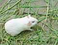 Guinea pig cavia porcellus is a popular household pet Stock Image