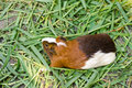 Guinea pig cavia porcellus is a popular household pet Stock Images
