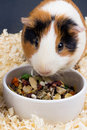 Guinea pig eating food closeup Royalty Free Stock Photo