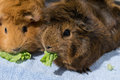 Guinea pig eating lettuce Royalty Free Stock Photo