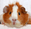 Guinea pig funny or cavia Royalty Free Stock Images