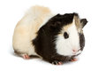 Guinea pig isolated on white background little pet rodent Stock Photos