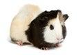 Guinea pig isolated on white background Royalty Free Stock Photo
