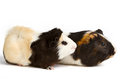Guinea pig isolated on white background little pet rodent Royalty Free Stock Image
