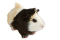 Guinea pig little pet rodent isolated on white background Royalty Free Stock Images