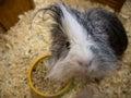 Guinea pig with long hair glancing down at camera Royalty Free Stock Photo