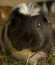 Guinea pig looking in camera Stock Photo