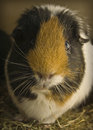 Guinea pig looking in camera Royalty Free Stock Photography
