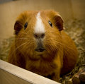 Guinea pig looking in camera Stock Images