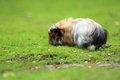 Guinea pig the motley on the grass Stock Image