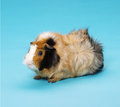 Guinea pig pedigree on blue background Stock Images