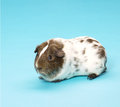 Guinea pig pedigree on blue background Royalty Free Stock Image