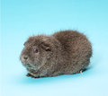 Guinea pig pedigree on blue background Royalty Free Stock Photography
