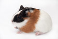 Guinea pig profile brown black white baby Royalty Free Stock Photo