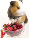 Guinea pig's breakfast Royalty Free Stock Photo