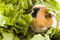 Guinea pig is sitting between endive leafs Royalty Free Stock Photo