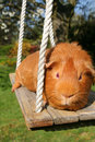 Guinea-pig on a swing. Royalty Free Stock Photo